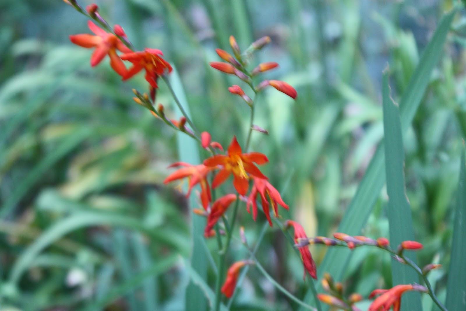 8 Umbellatum Star of Bethlehem Summer Snowflake Gardening Bulb Corm White Flower