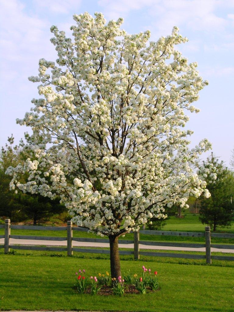 tree that smells like cum