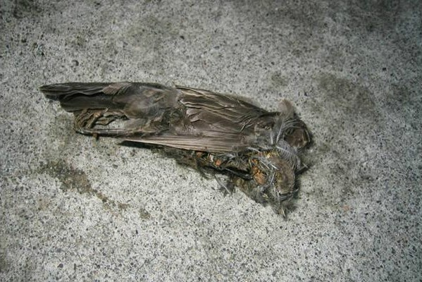 A dead bird in Jatinga