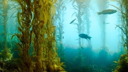 สาหร่ายเคลป์ (Kelp Seaweed)