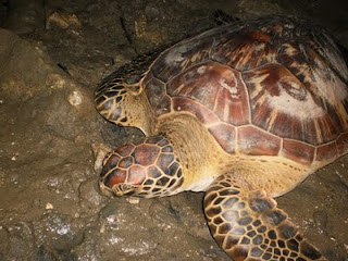 Amazing Giant Sea Turtle