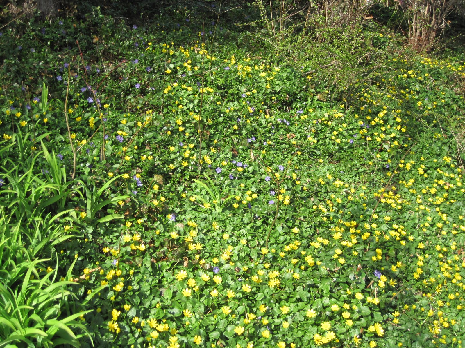 Gardening and gardens sweet little buttercup or is it for Grass like flowering plants
