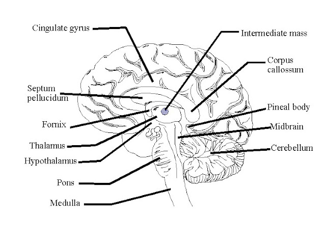 Labeled Brain Model Cerebrum Brain labeled
