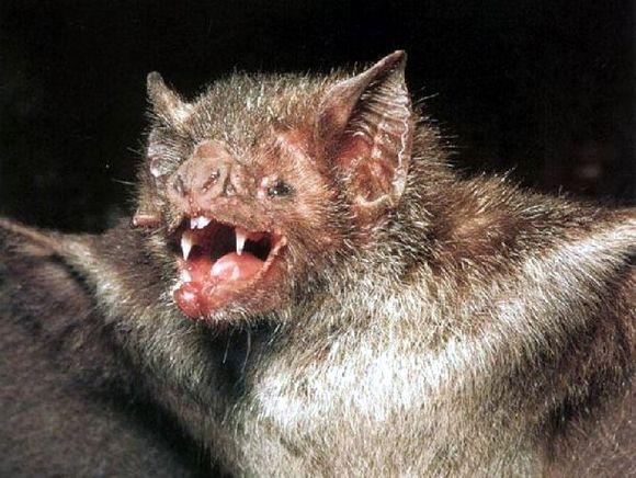 Scary Vampire Bats Ima...