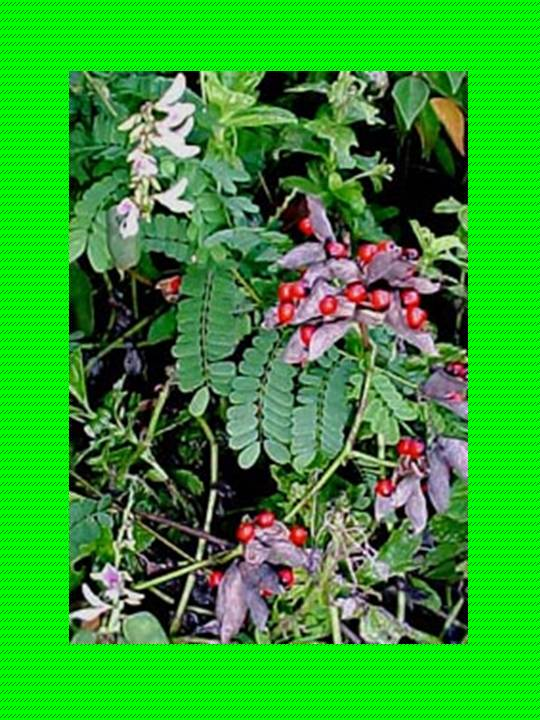 Santeria huayruros abro semillas de peon a for Donde venden plantas
