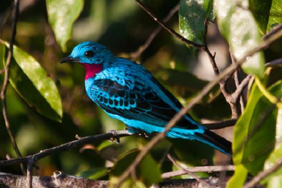 pássaro anambé azul