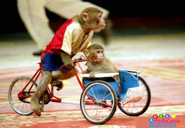 foto lucu Si Monyet Lagi Narik Becak