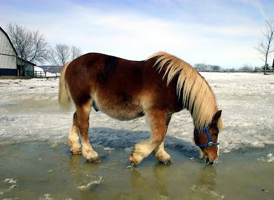 Paisaje congelado con nieve y caballo pony bebiendo agua