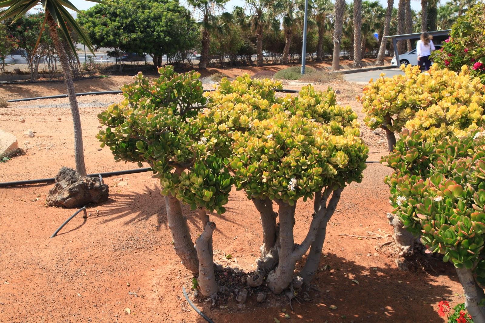 Crassula suculenta planta de jade sementes bonsai p mudas r 9 99 em mercado livre - Jm puerto del rosario ...