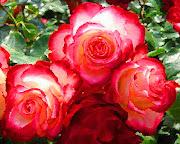"""""""Rosas rojas del Carmelo con pétalos de rubí como ardientes corazones rosa"""