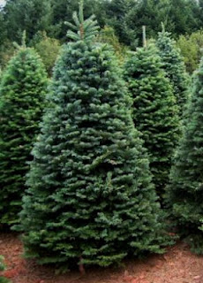 Pinos para Árbol de Navidad