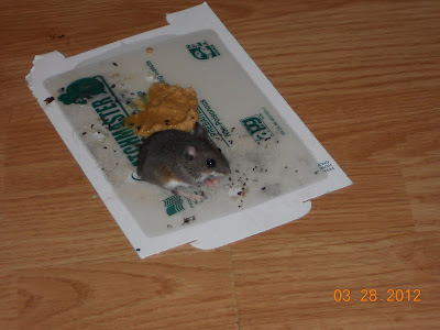 how to catch a mouse when traps don t work