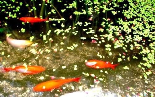 Acquaponico quale cibo per i pesci in acquaponica for Cibo per pesci tropicali