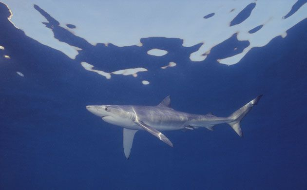 10 Spesies Hiu yang Hampir Punah di Dunia: Blue Shark