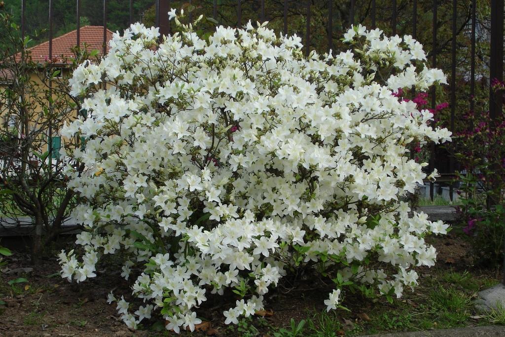 i colori della vita azalea bianca