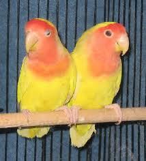 jenis lovebird muka merah
