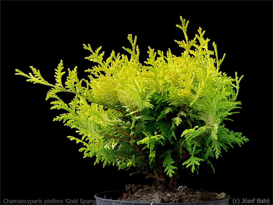 Chamaecyparis pisifera 'Gold Spangle' - Cyprysik groszkowy 'Gold Spangle' pokrój