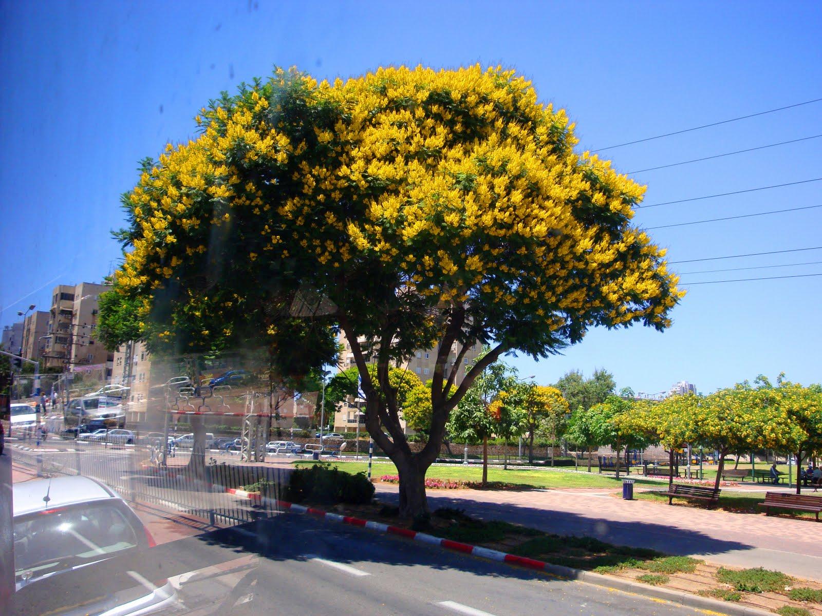 Там сейчас цветет желтая шита