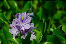 Water Hyacinth, Florida