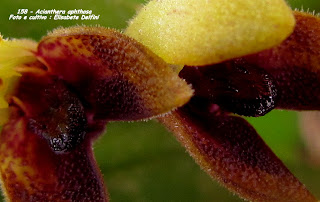 Acianthera aphthosa do blogdabeteorquideas