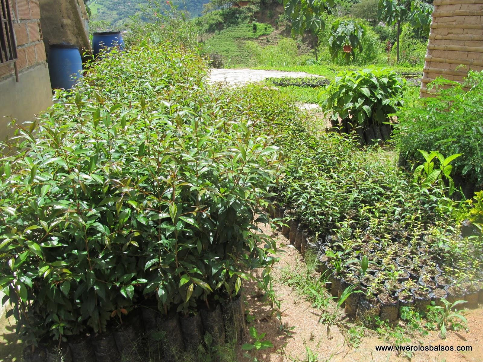 Vivero los balsos venta de semilla o plantulas de arbol for Viveros medellin