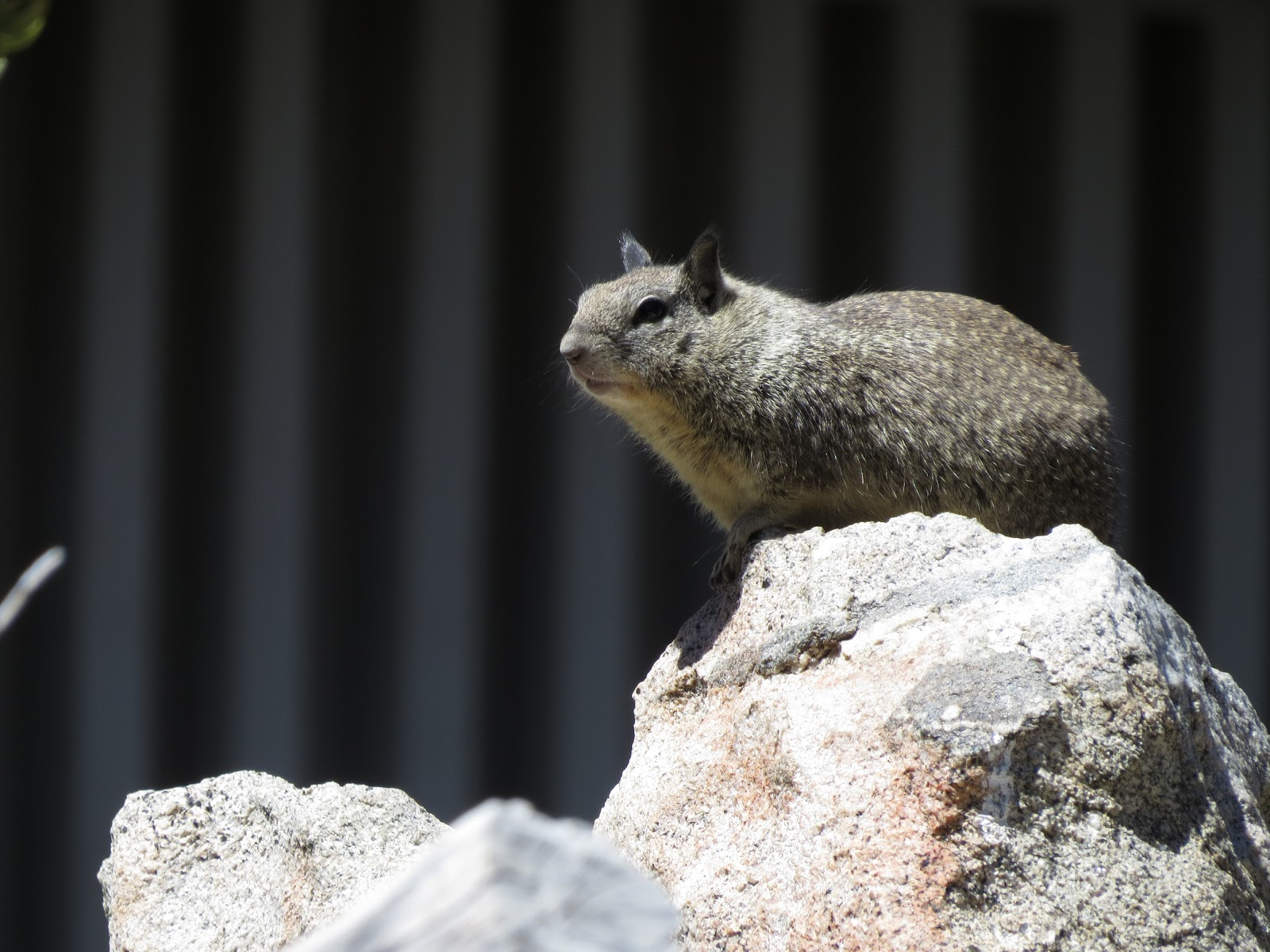 Palm Springs Aerial Tramway mountain squirrel