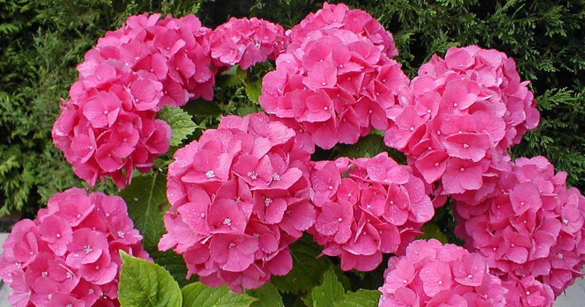 Cuidado de tus plantas las hortensias - Flores que aguantan el sol ...