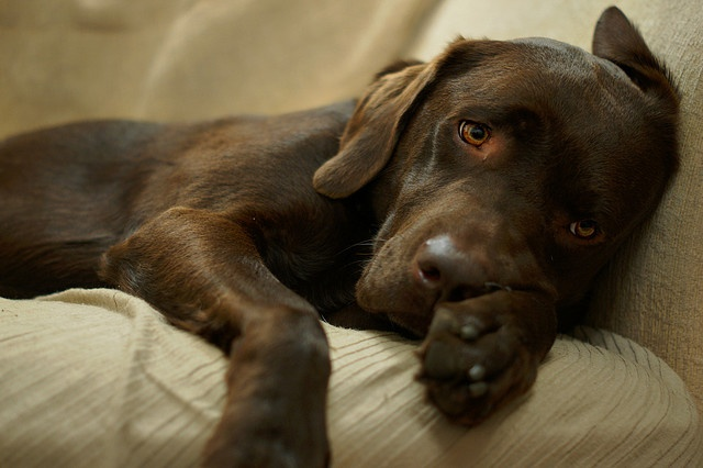 Cute chocolate Labrador puppy resting