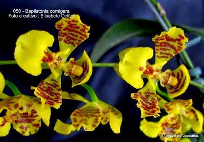 Oncidium cornigerum, Gomesa cornigera, Oncidium fimbriatum, Oncidium pyxidophorum, Oncidium chrysorhapis, Oncidium godseffianum, Oncidium hecatanthum, Baptistonia fimbriata, Gomesa chrysorhapis.
