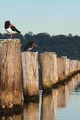 Pied Oyster Catchers line up