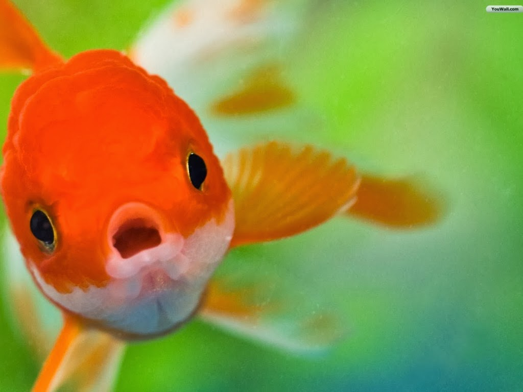 "<img src=""http://2.bp.blogspot.com/-cpZbo68DZeo/UtmQg5XNM-I/AAAAAAAAIpU/gMajo0RGfLw/s1600/animal-wallpapers-red-fish.jpeg"" alt=""red fish"" />"