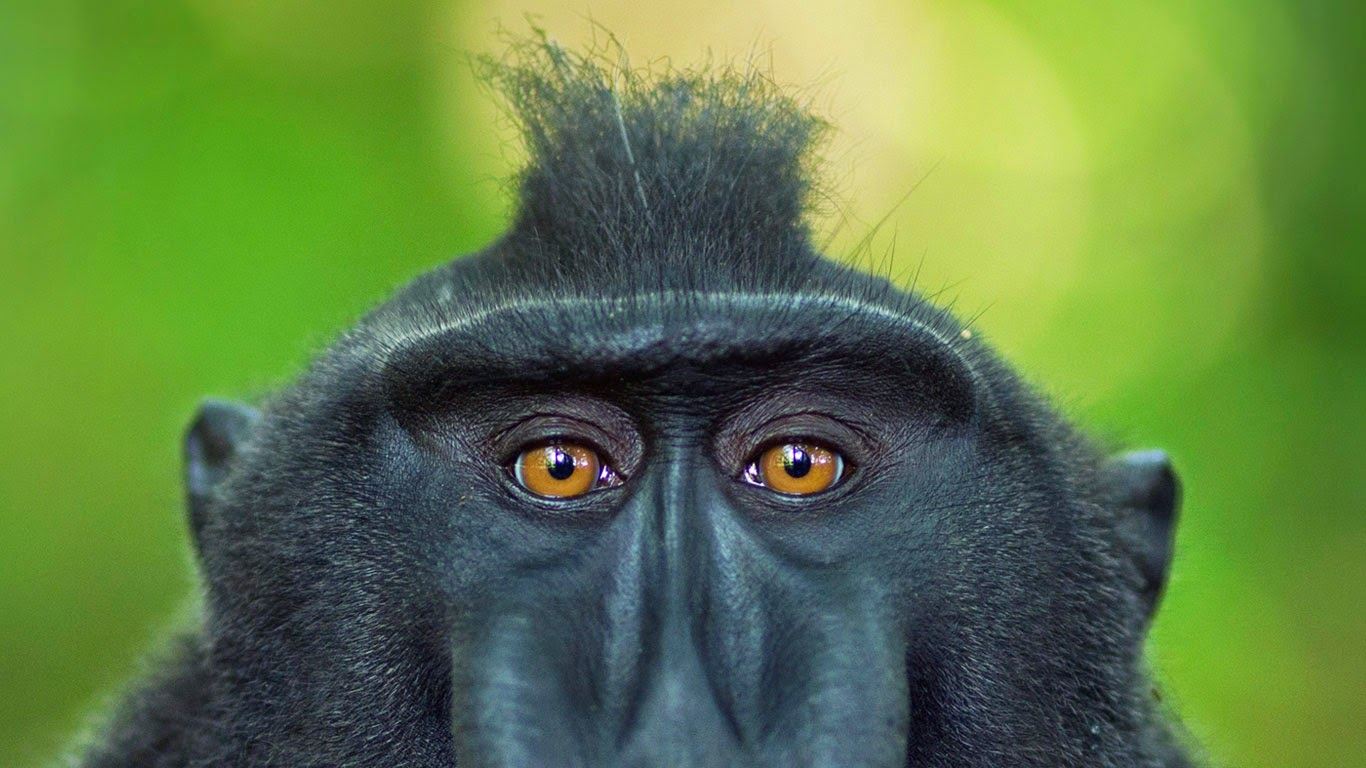 Celebes crested macaque mature male, Tangkoko National Park, Sulawesi, Indonesia (© Anup Shah/Corbis) 240