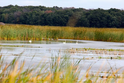 trumpeter swans on Carlos Avery WMA pool