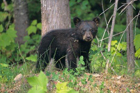 Cute black bear