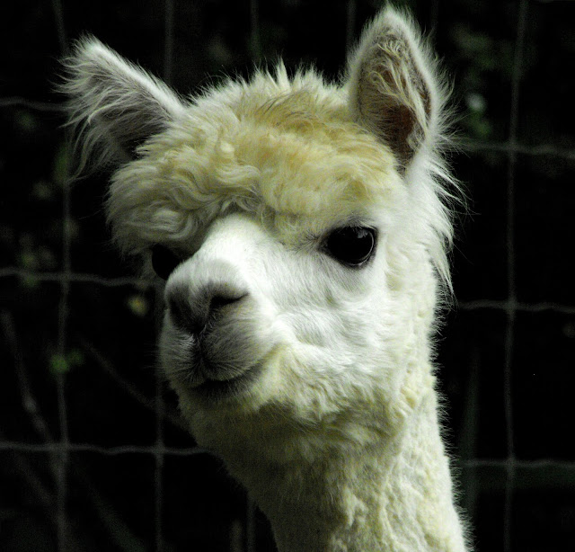 Cute alpaca face close-up