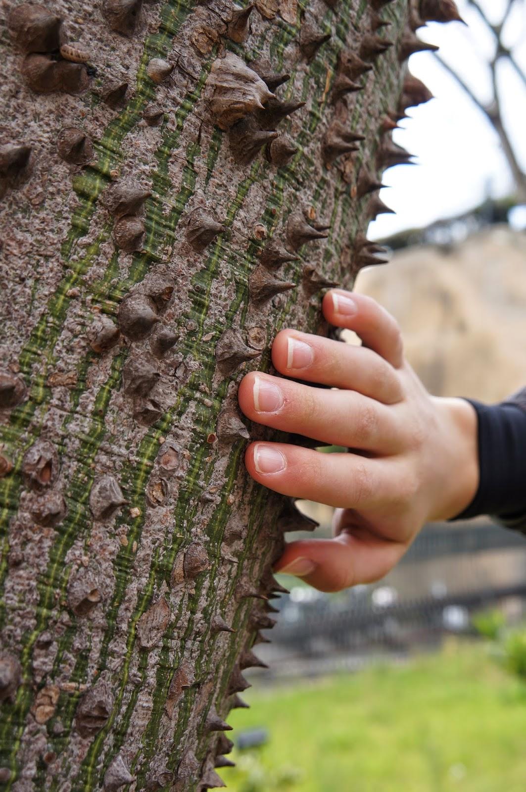 Ceiba speciosa or Ceiba pentandra tree with thorny trunk / bark