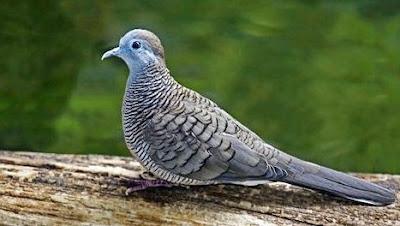 4 Trik Ampuh Untuk Membedakan Burung Perkutut / Titiran Jantan Dan Betina