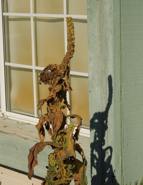Mullein Plant and its Shadow, © B. Radisavljevic