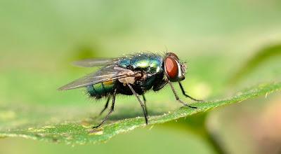 Mosca de la Fruta - Drosophila melanogaster