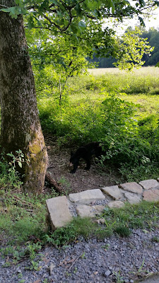 www.TheOtherEndOfTheCandle.com Black Bear siting at Cade's Cove in Tennessee