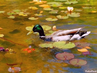 Impressionist Duck