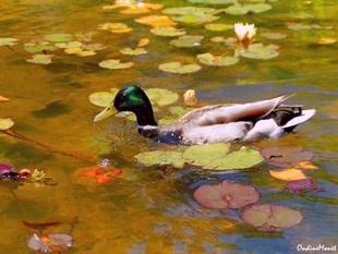 Impressionist Duck