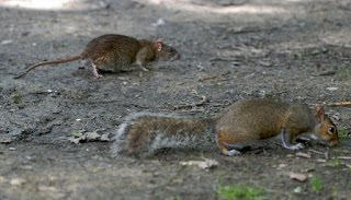 Rats are not Squirrels nor beasts