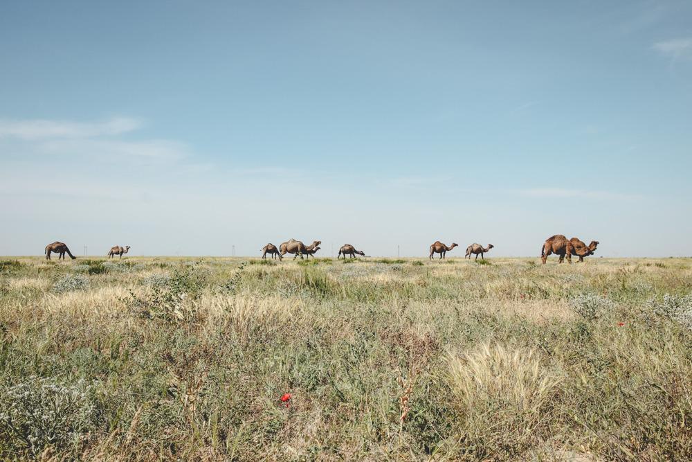 Dromedare in der Kasachischen Steppe