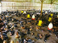 Peluang Usaha Ternak Ayam Kampung Super Sangat Menjanjikan