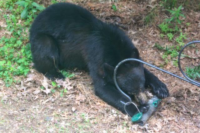 young black bear at feeder