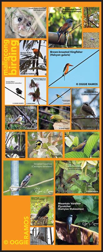 Maligcong Birding Summary
