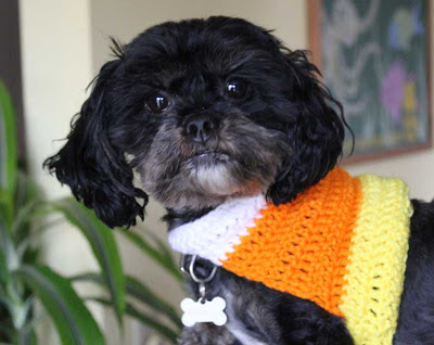 black dog wearing a crocheted candy corn design sweater