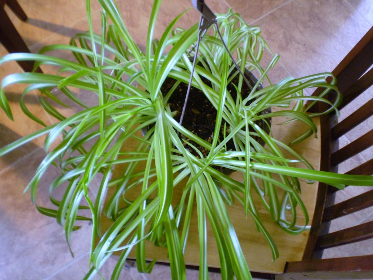 Уход за хлорофитумом в домашних условиях: полив, пересадка 720