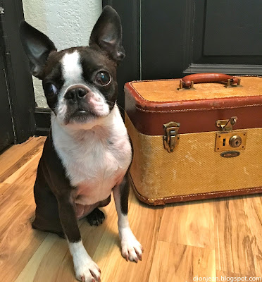 Sinead the Boston terrier and her suitcase